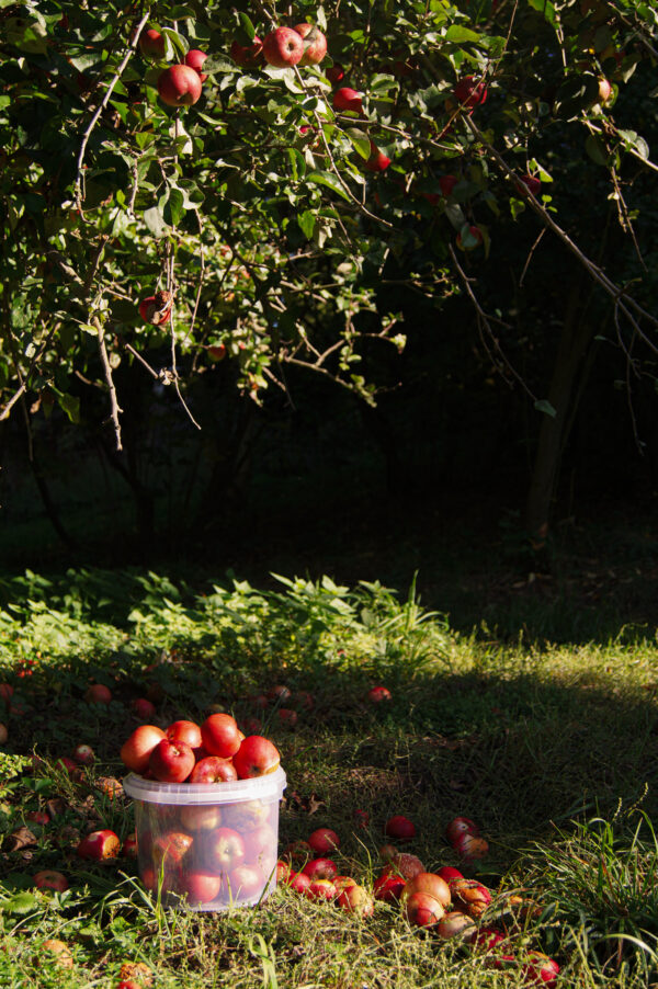wiadro-plastikowe-transparentne-jablka-jablonka-ogrod-sad